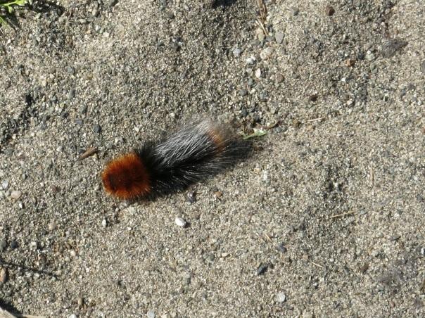 baby fox tail